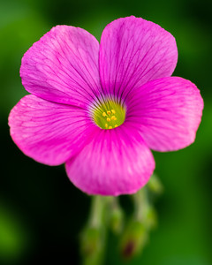 Macro image of a purple and pink Oxalis flower