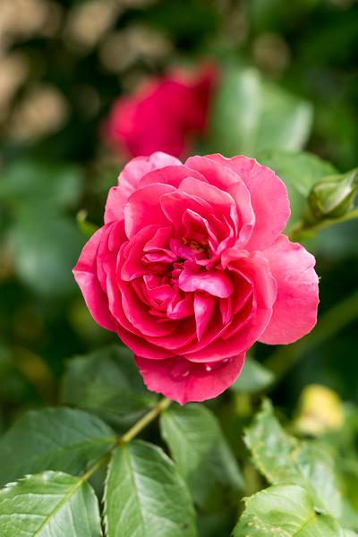 Bright Pink Rose, Rose Garden Forst, Oberlausitz, Germany