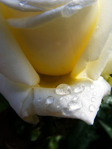 """Morning Dew"", a rose in my parents garden, Ramsgate, KwaZulu-Natal, South Africa."