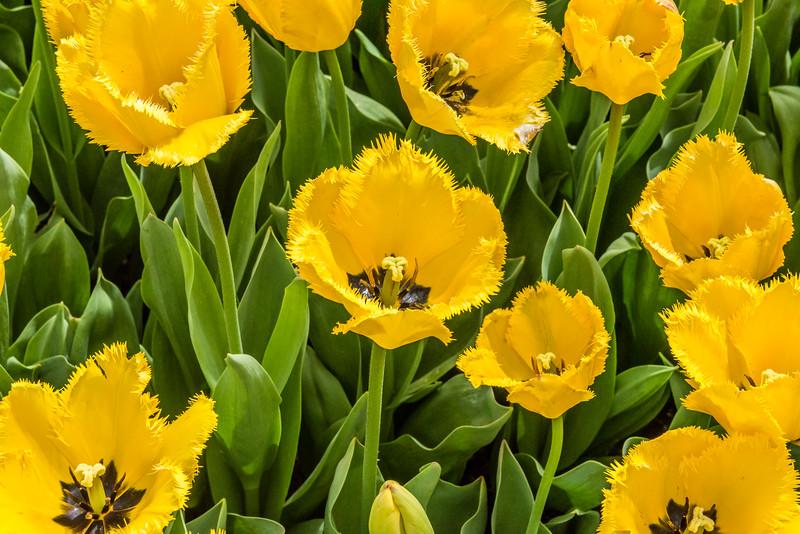 """""""Maja"""" Tulip"""