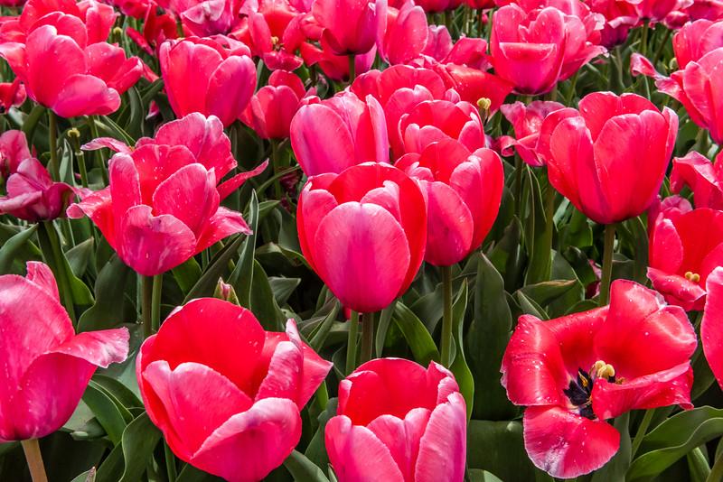 """""""Big Red"""" Tulip"""