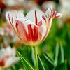 Canada150 Tulip II