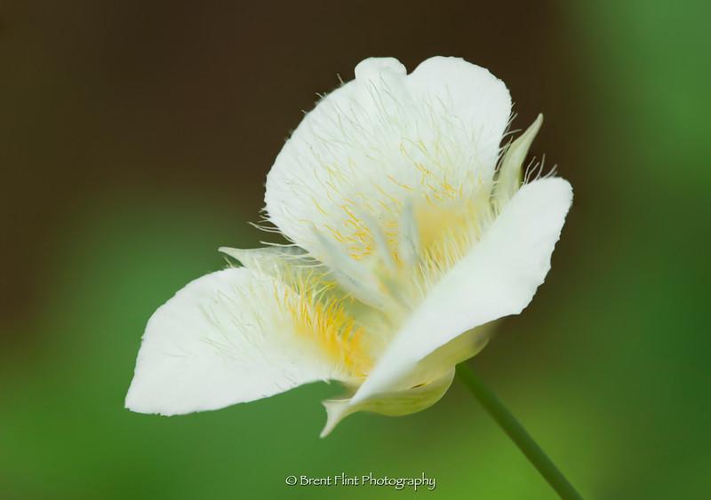 DF.4668 - mariposa lily (Calochortus apiculatus), Kaniksu National Forest, ID.