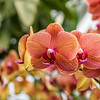 Orange Phalaenopsis Hybrid Orchid