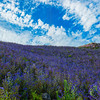 Hillside of purple flowers.