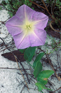 Scrub morning glory, Bonamia grandiflora, endemic to the Lake Wales Ridge