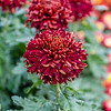 """Garnet King"" Chrysanthemum"