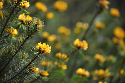 Australian native Handsome Bush Pea flowers,