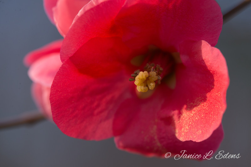 """Flowering Quince Blossom"""