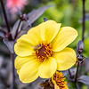 Bee on a Yellow Dahlia