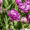 """Purple Jacket"" Tulip"