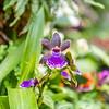 Zypopetalum Orchid Hybrid