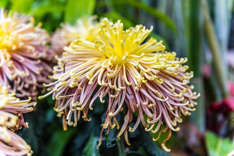 """Zaryah"" Chrysanthemum"