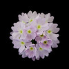 Verbena Flowers, Pink. Formal Portrait.