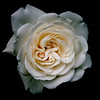 Old White Rose Portrait Against a Crushed Black Background.