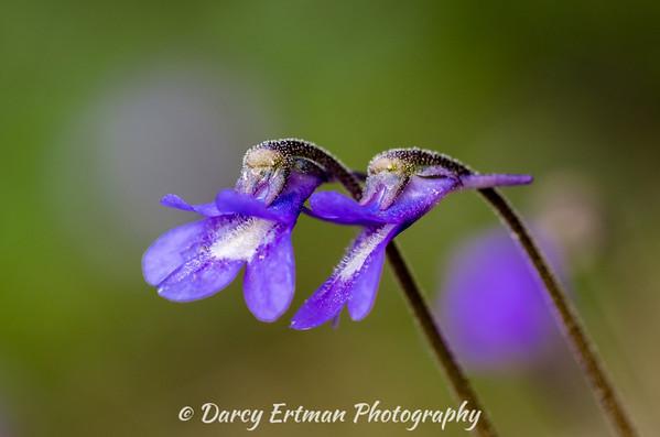 Early Blue Violet II