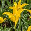 """""""Flashback"""" Tulip"""