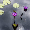 """Lindsey Woods"" Waterlily"