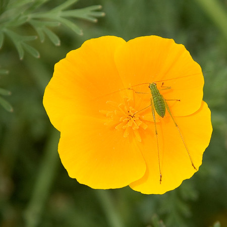 California Poppy and visiting Cricket.