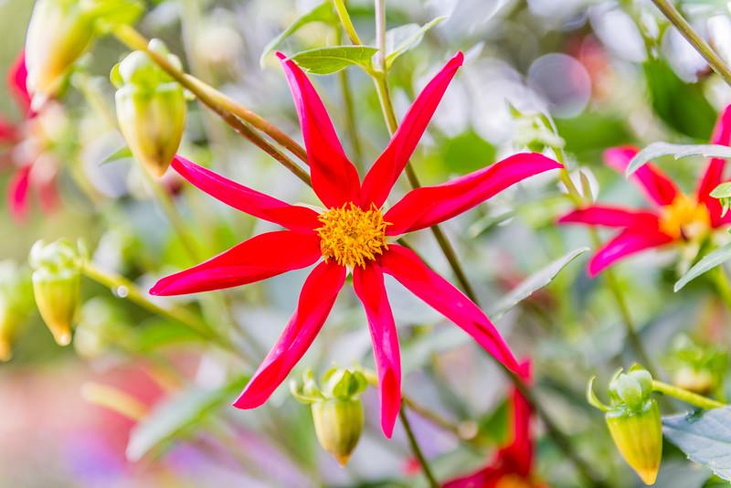 Exotic Red Dahlia