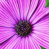 Purple Daisy Center