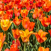 Colorful Single Late Tulips