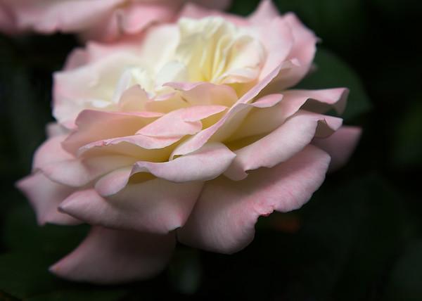 Rose Study X