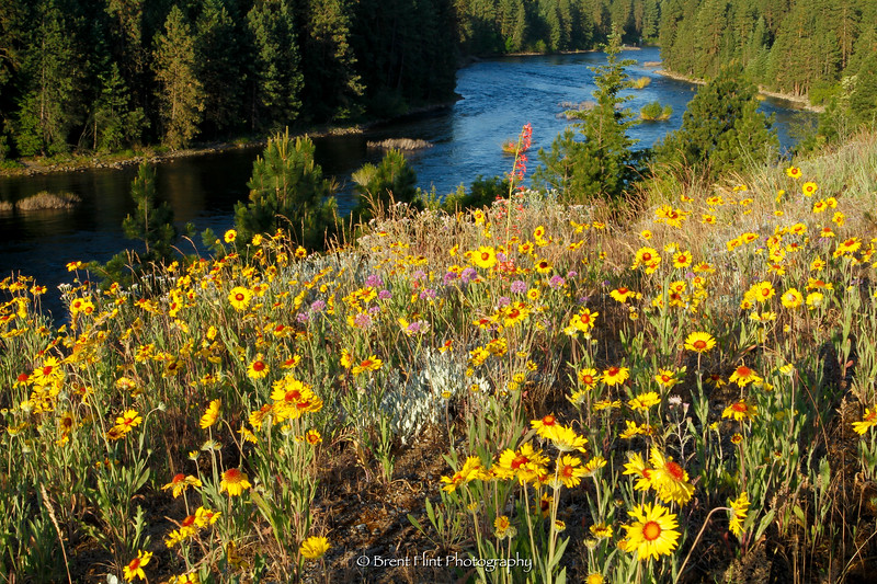 DF.2999 - blanketflower and other wildflowers on banks of the Spokane River near Post Falls, Kootenai County, ID.