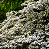 Spring blossom - Smyrna, Georgia - USA