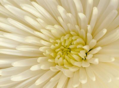 Chryanthemum close-up