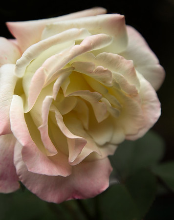 Rose Study iX