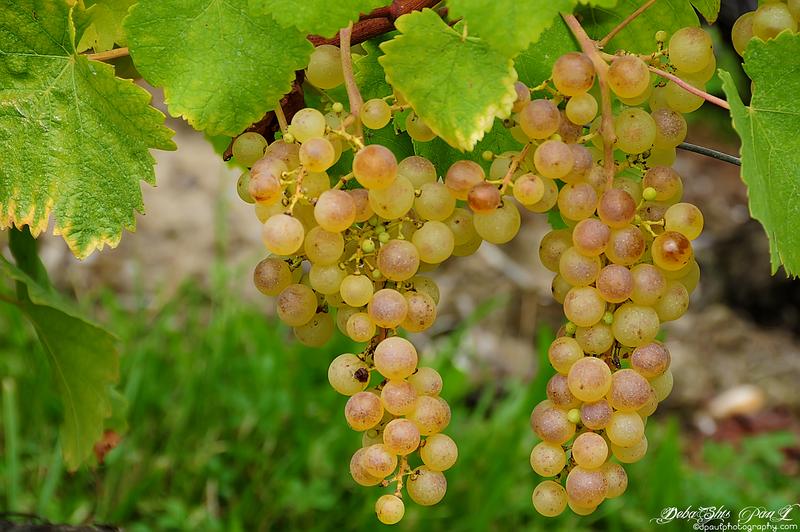 Vineyard in Russin Village - Geneva, Switzerland