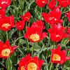 """""""Van Eijk"""" Tulip"""