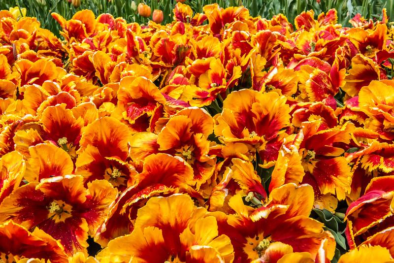 """Bright Parrot"" Tulips"