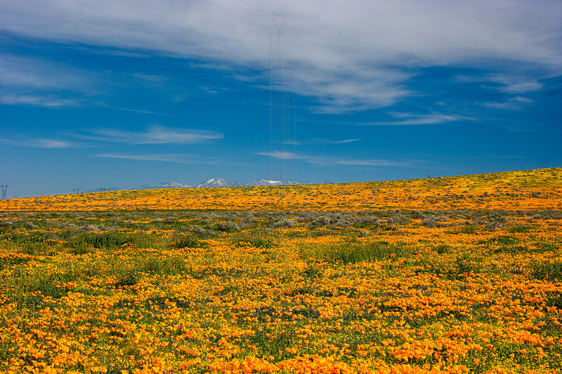 Hill covered in poppys.