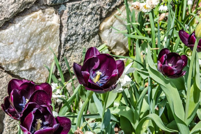 """""""Recreado"""" Tulip"""