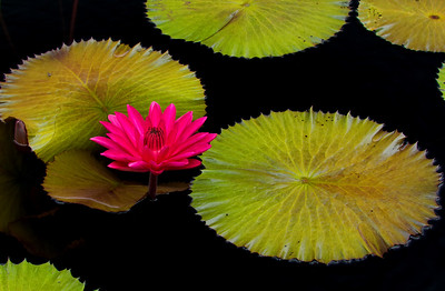 Red Waterlily, Longwood Gardens Horizontal, 01