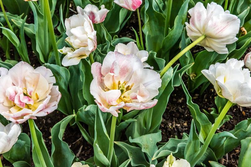 """Cream Lizard"" Tulip"