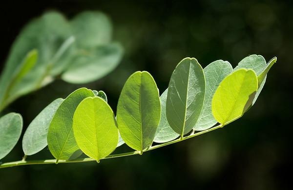 Leaves Study III