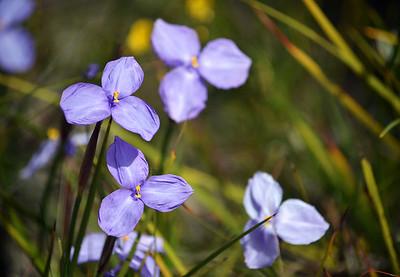 Australian native silky purple flags II