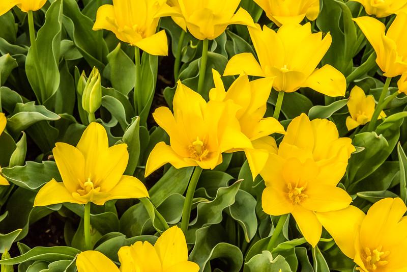 """""""Ballade Gold"""" Tulip"""