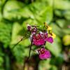 Oncidium Orchid Hybrid with a Bib