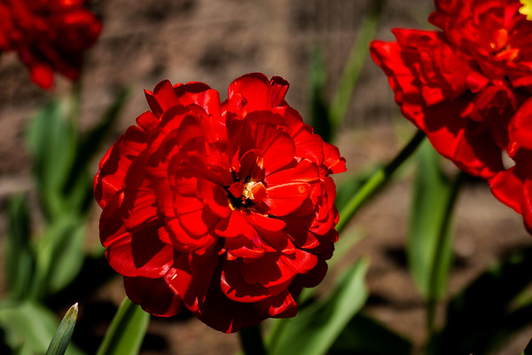 Double Late Tulip
