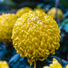 """Bola de Oro"" Chrysanthemum"
