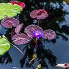 """Ultra Violet"" Waterlily"