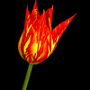 Firework Tulip