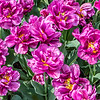 """Purple Delight"" Tulip"