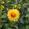 Yellow & Red Dahlia