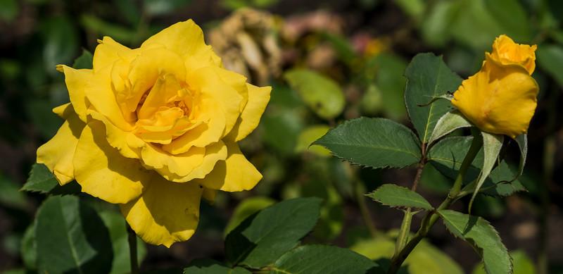 Yellow Rose, Rose Garden Forst, Oberlausitz, Germany