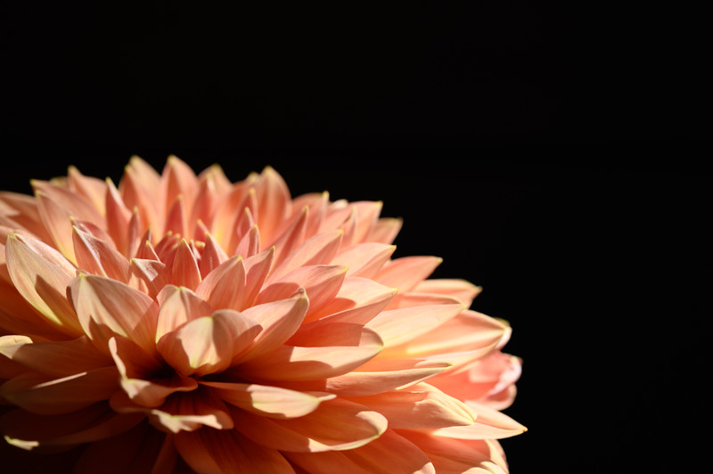 Natural Light Peach Dahlia